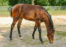 Six Month Old Morgan Horse Colt At Morgan Horse Farm In Vermont
