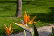 It Is A Flower With Spikes Called Flower Bird Of Paradise, Open To The Afternoon Sun, In The Background A Mantle Of Grass And A Piece Of A Trunk Of A Tree