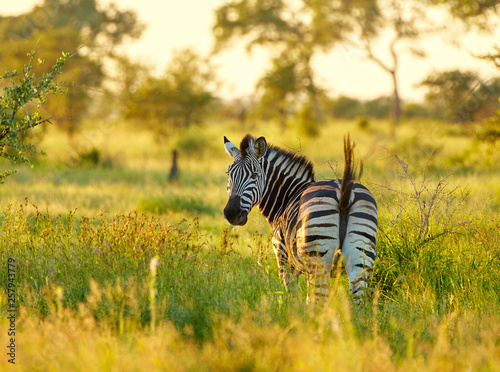 Lonley zebra in african savannah