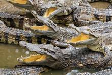 Portrait Of Many Crocodiles At...
