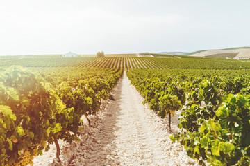 Landscape of vineyards at sunset