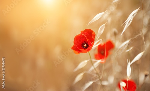 Obraz Red poppy flower and oat plants in summer forest. Beautiful nature background - fototapety do salonu