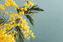 Mimosa Are The First Flowers O...