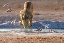Lioness Drinking In A Waterhol...