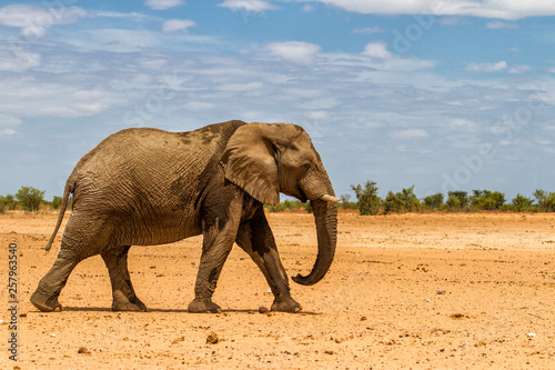 Male elephant walking in the dry western part of Etosha National Park in Namibia Canvas Print