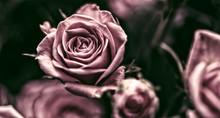 Rosen In Pink, Altrosa, Dunkel, Hintergrund