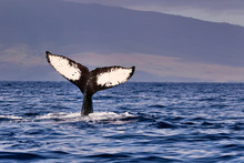 Humpback Whale Flukes Seen During A Whale Watching Trip Near Lahaina On Maui.