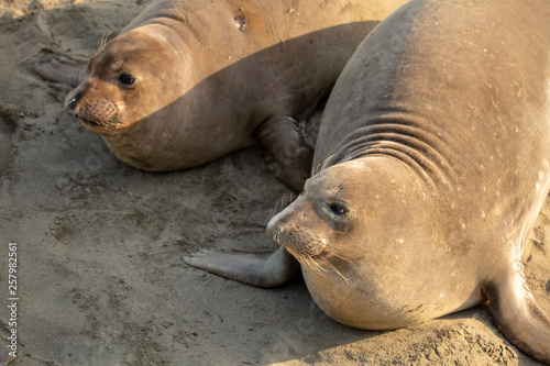 Cuadros en Lienzo Young elephant seals recline on the beach along California's central coast
