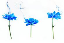 Blue Chrysanthemum Inside Wate...
