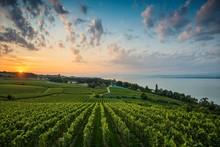 Vineyards Between Hagnau And M...