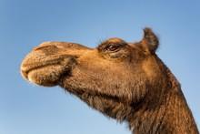 Dromedary (Camelus Dromedarius), Portrait, Camel Market, Camel Market, Pushkar Mela, Pushkar, Rajasthan, India, Asia