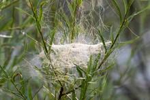 Web Of Sheet Weaver (Linyphiidae) In Willows, Isar, Upper Bavaria, Bavaria, Germany, Europe