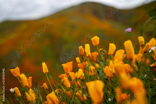 Fotografia, Obraz  Selective focus on closed poppies on an overcast day
