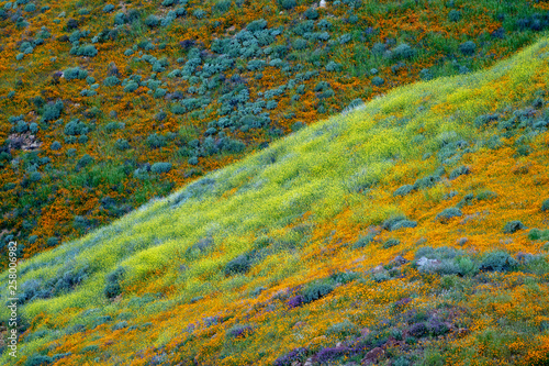 Fotografía  Hills of poppies and other mixed wildflowers in Walker Canyon in Lake Elsinore C