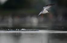 Little Tern In Action
