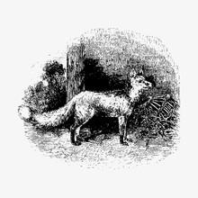 Cur Fox Vintage Drawing