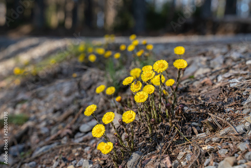 Coltsfoot flowers on the edge of a forest path Fototapet