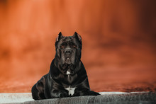 Elegant Dog Breed The Cane Cor...