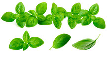 Fresh Green Basil Leaves Collection Isolated On White Background. Border Frame Of Basil Leaf Herb. Macro.