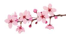 Cherry Blossom Branch, Sakura ...