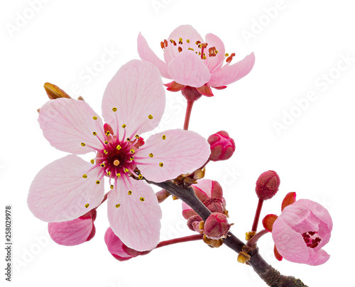 Vászonkép Cherry blossom branch, sakura flowers isolated on white background