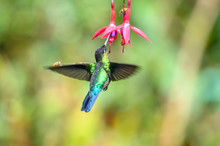 Blue Hummingbird Violet Sabrew...