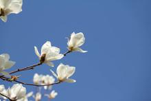 満開の白い木蓮の花