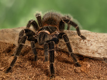 Closeup Female Of Spider Taran...