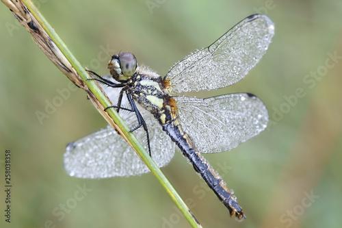 Fényképezés  Sympetrum danae, the black darter or black meadowhawk