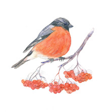 The Bullfinch On Branch Of Row...