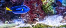 Dory, Blue Tang, Aquarium, Blu...