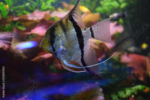 Fototapety, obrazy: Scalaria (Pterophyllum) - a genus of fishes of family tsichlovyh