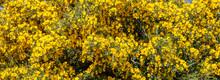 Wild Shrub With Yellow Flowers...