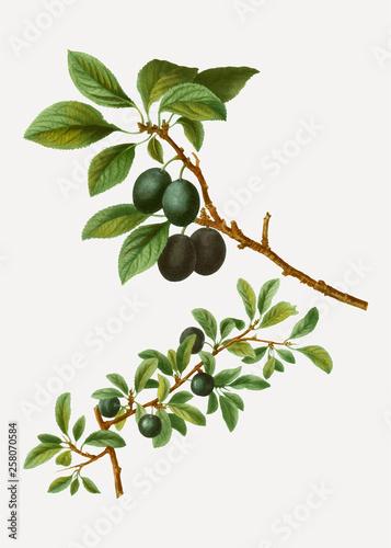 Blackthorn tree branch Canvas Print