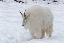 The Mountain Goat (Oreamnos Am...