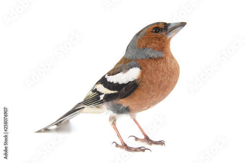 Male Chaffinch, Fringilla coelebs, isolated on white background. Poster Mural XXL