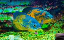 Astronotus Ocellatus. Oscar Fish Swimming Underwater.