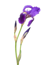 Windswept Purple Iris Flower, Aka Flag, Germanica, Isolated On White Background. With Stem And Buds.