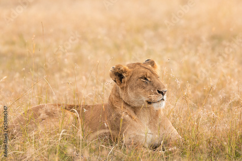 Foto op Canvas Leeuw Lion in the savannah