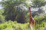 Fototapeta Sawanna - A giraffe stands between the acacia trees
