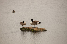 Canada Geese On Islet