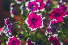 Petunia  Bright Flowers Close ...
