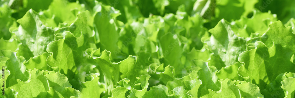 Fototapety, obrazy: Banner. Fresh green curly salad in the garden. Elongated photo