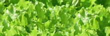 Banner. Fresh Green Curly Salad In The Garden. Elongated Photo