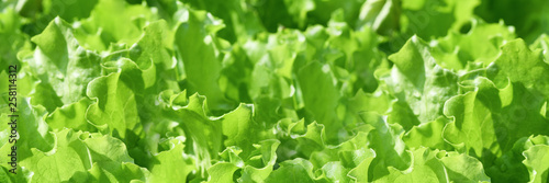 Obraz Banner. Fresh green curly salad in the garden. Elongated photo - fototapety do salonu
