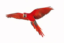Colorful Flying Parrot Isolate...