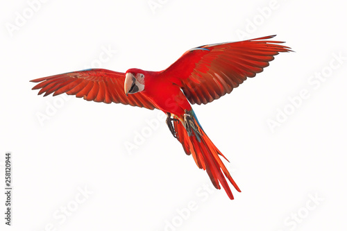 Foto op Plexiglas Papegaai Colorful flying parrot isolated on white background.