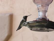 Male Anna's Hummingbird At A F...