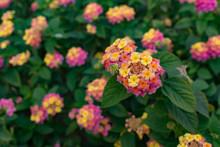 Beautiful And Colorful Lantana Camara Close Up