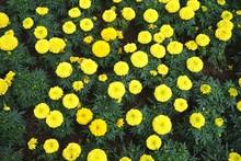 Blooming Yellow Marigolds Flower Garden Allover Horizontal Nature Landscape